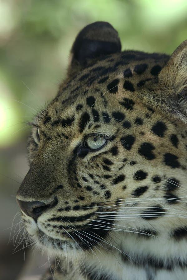 Amur Leopard _MG_3594 Stock Images