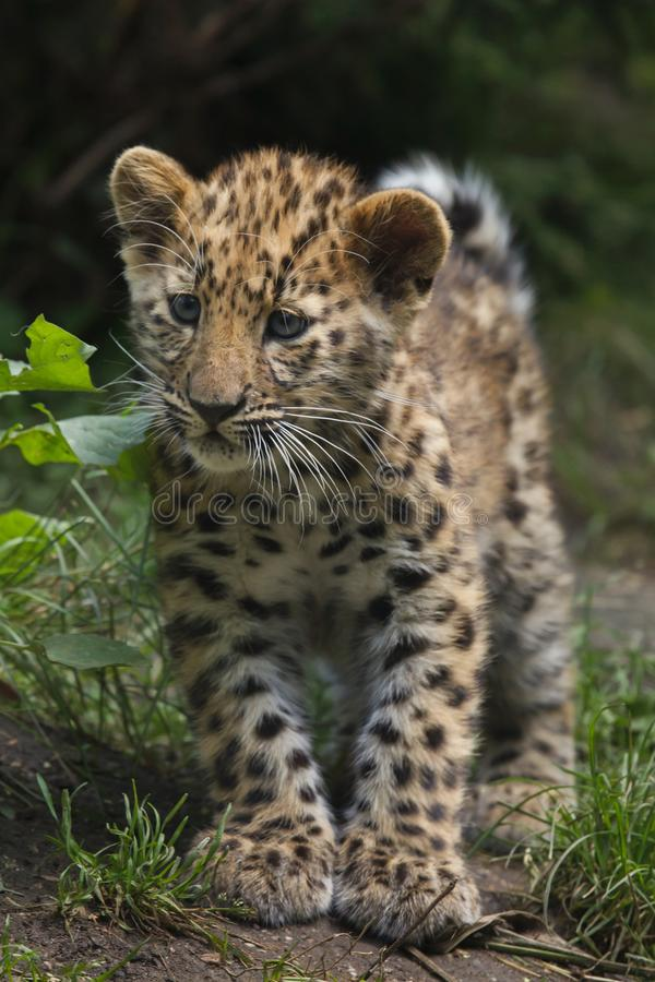 Free Amur Leopard Panthera Pardus Orientalis Royalty Free Stock Photography - 105223117