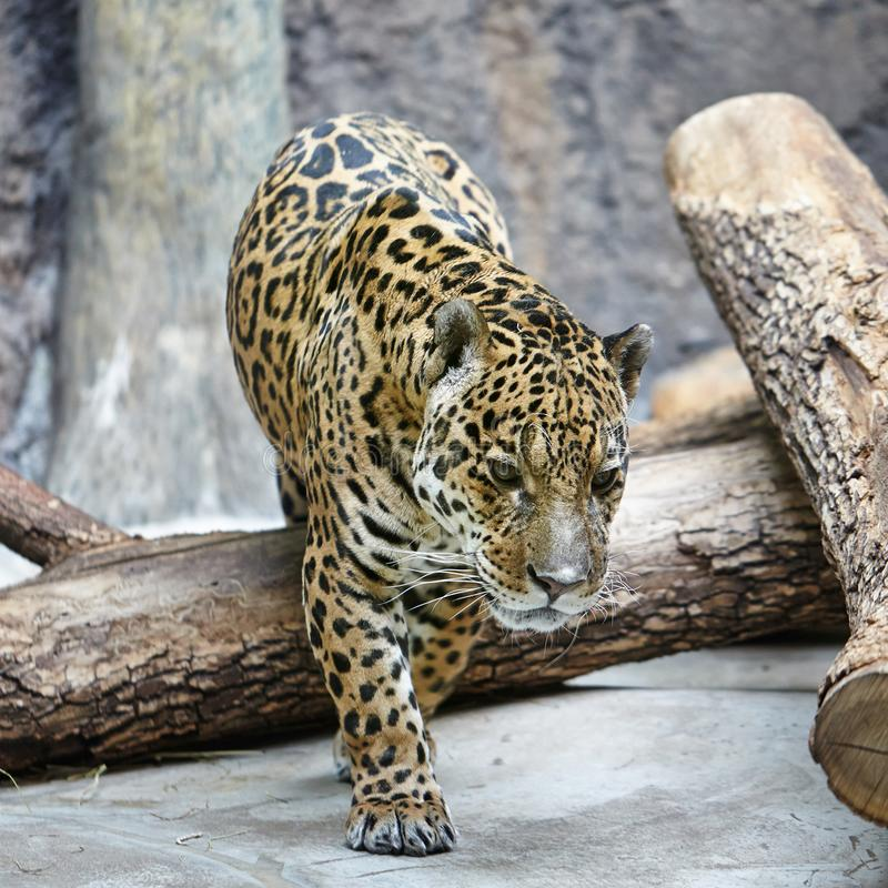 Amur leopard Panthera pardus orientalis , a leopard subspecies native to the Primorye region of southeastern Russia stock image
