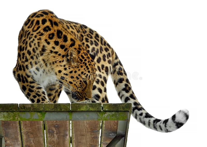 Amur leopard Panthera pardus orientalis is standing on wooden platform royalty free stock photos