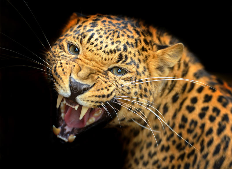 Amur Leopard. Portrait of Amur Leopard summer