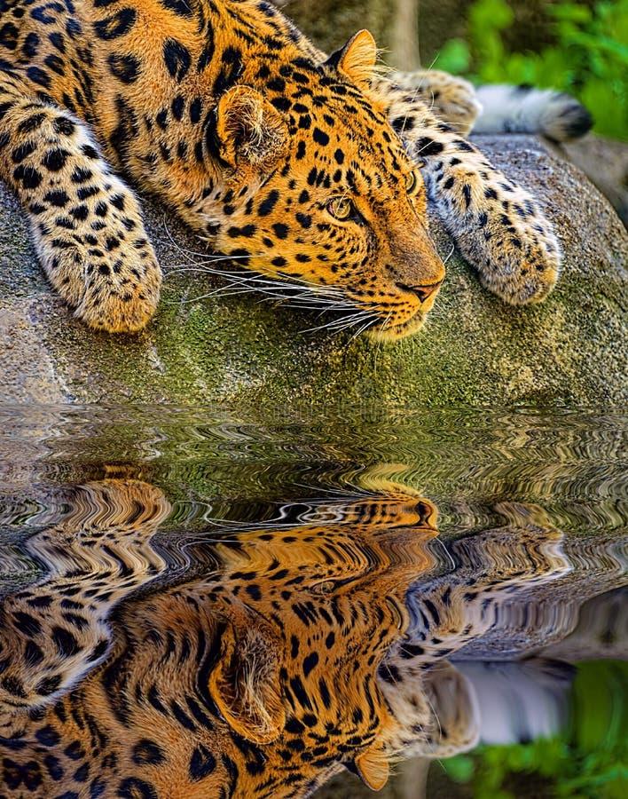 Amur Leopard portrait. stock photos