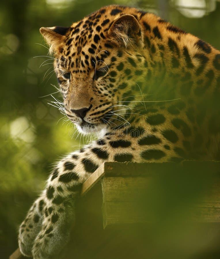 Amur leopard som kopplar av högt upp på den Marwell zoo arkivbilder
