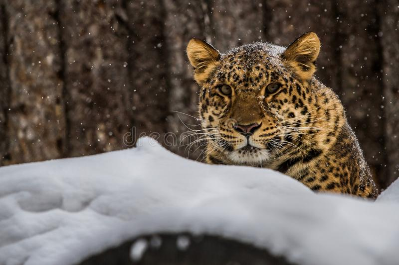 Amur Leopard from winter Russia. One of the few Amur Leopard from winter Russia of the Far East He`s name Steven royalty free stock photo