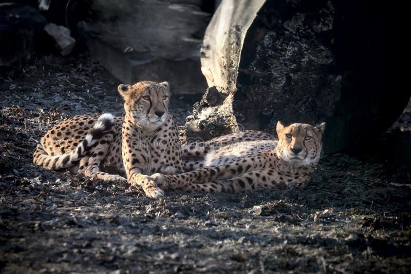 Amur leoparder royaltyfri bild