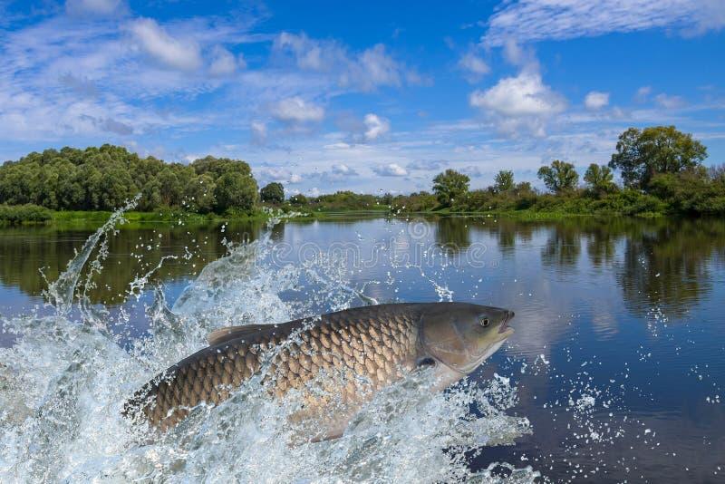 Amur lub trawy karpia ryba doskakiwanie z chełbotaniem w wodzie zdjęcia stock