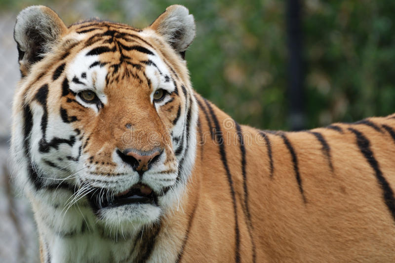 Amur-(sibirischer) Tiger lizenzfreie stockfotografie