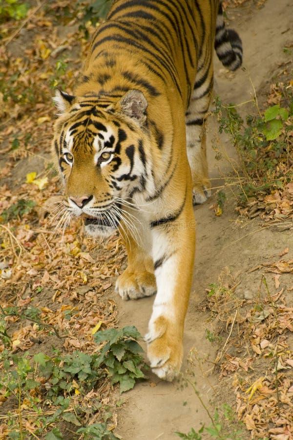 Download Amur tiger stock image. Image of tigress, close, photography - 11164997