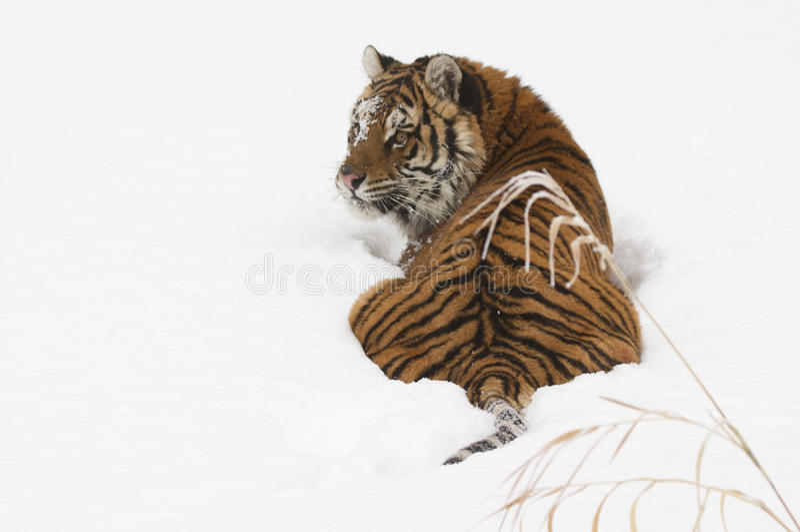 Download Amur Tiger stock image. Image of wildlife, undomesticated - 18705941