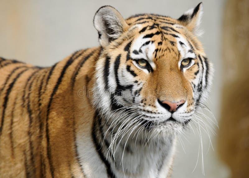 amur tiger royaltyfria foton