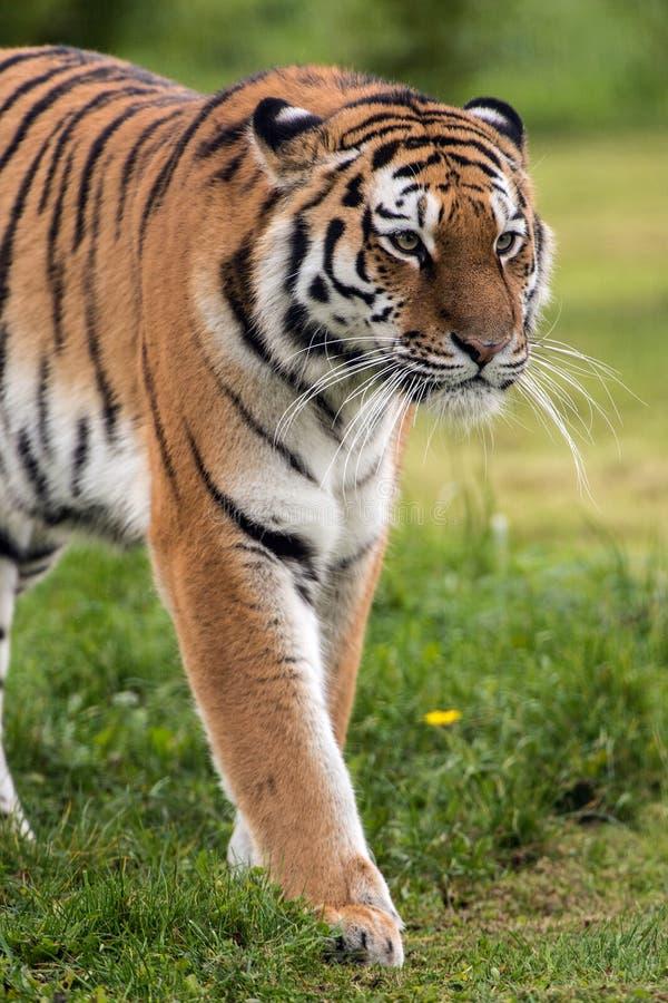 Amur-Tiger stockbilder