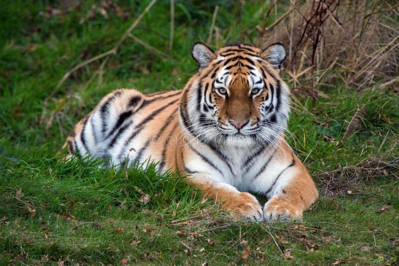 Amur-Tiger stockfotografie