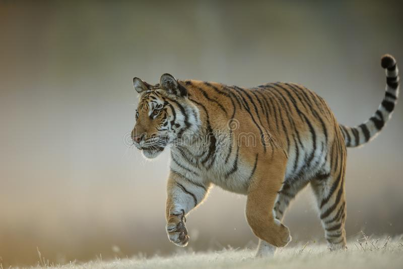 Amur-Tiger bei der Jagd von der Nahaufnahmeansicht Gef?hrliches Tier, taiga Russland Sibirischer Tiger, der Pantheratigris-altaic lizenzfreie stockfotos