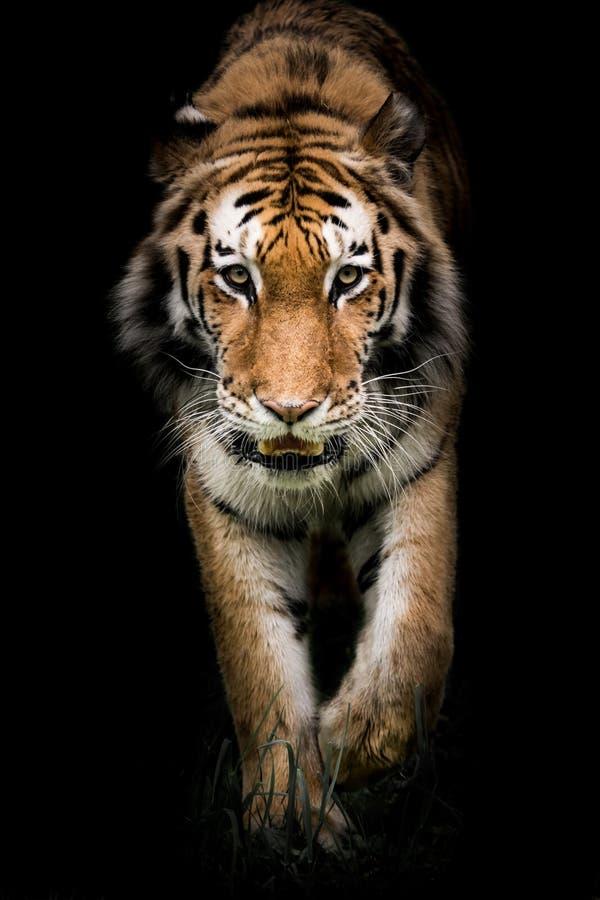 Amur Tiger On el vagabundeo II imagen de archivo libre de regalías