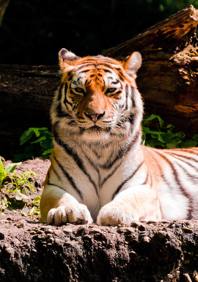 Amur Tiger Front Stock Images