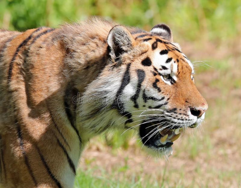 Amur Tiger hunting stock photography