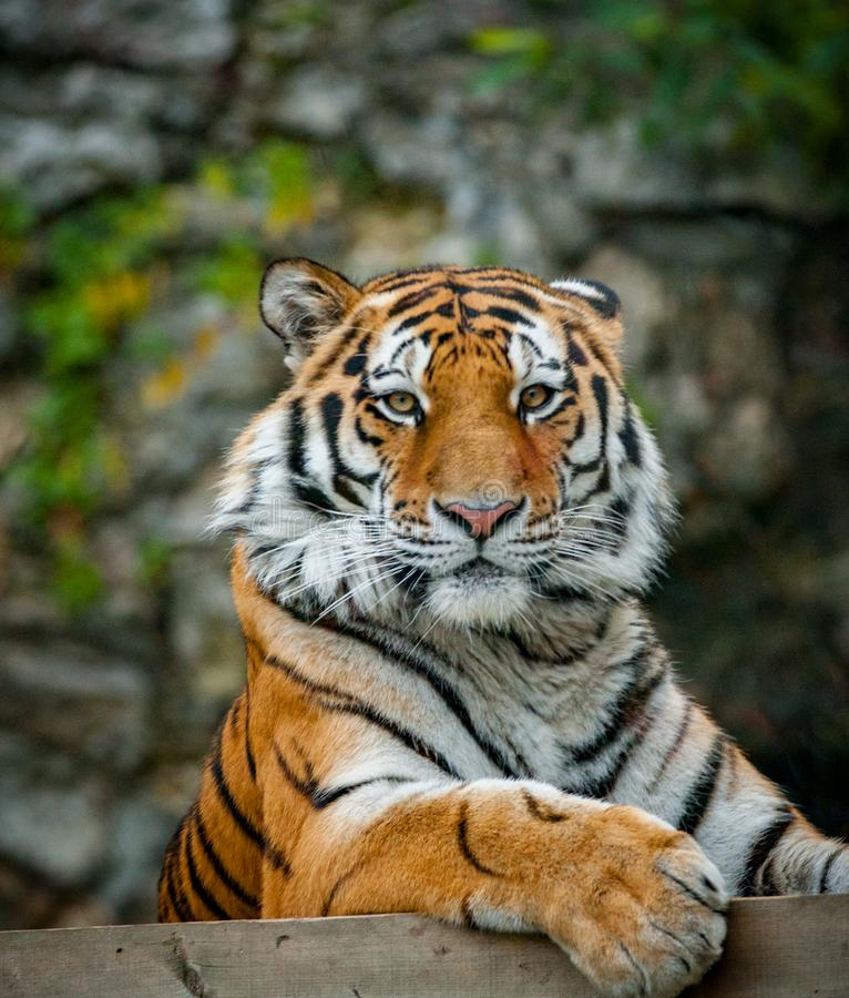 Amur tiger looking at camera. Amur tiger on a nature portrait close up stock photography