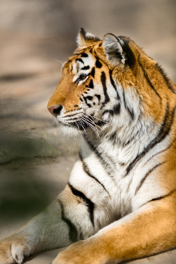 Amur tiger. (Panthera tigris altaica) portrait royalty free stock photos