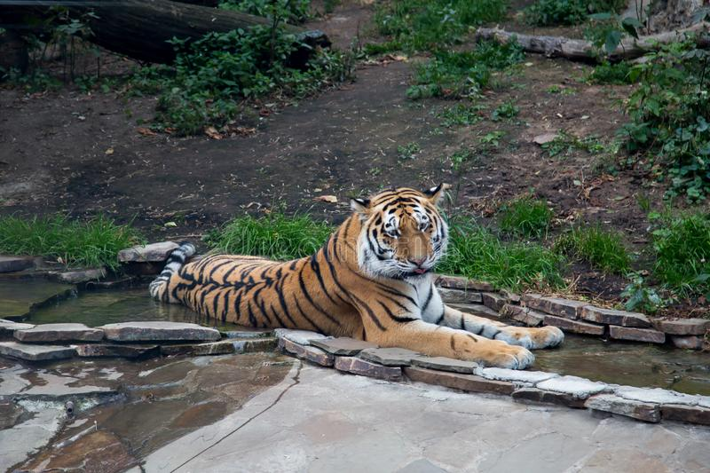 Amur tiger, Pantheran tigris atlaica, lying in the Creek resting on the background of greenery and trees. Wildlife, mammals stock photos