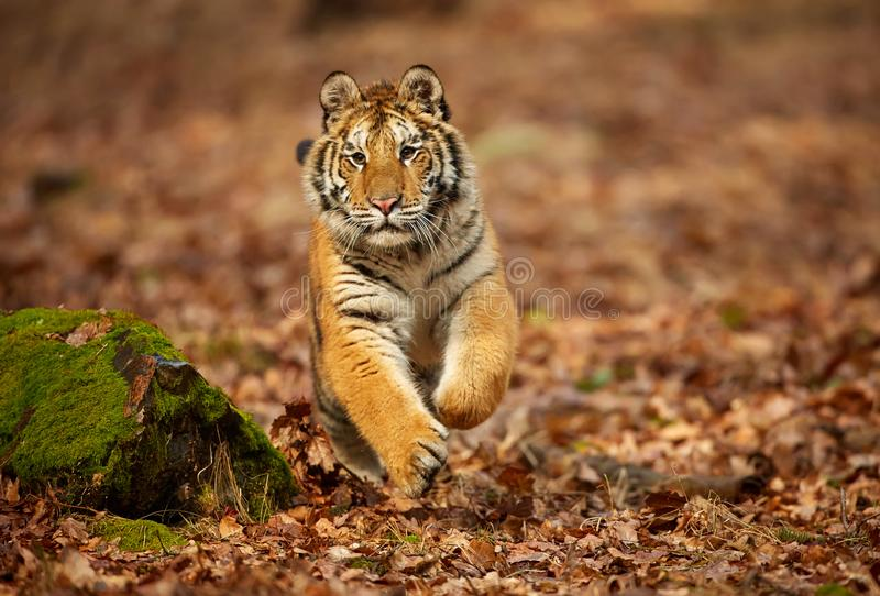 Amur tiger running in the forest. Action wildlife scene with danger animal. Siberian tiger, Panthera tigris altaica stock photography