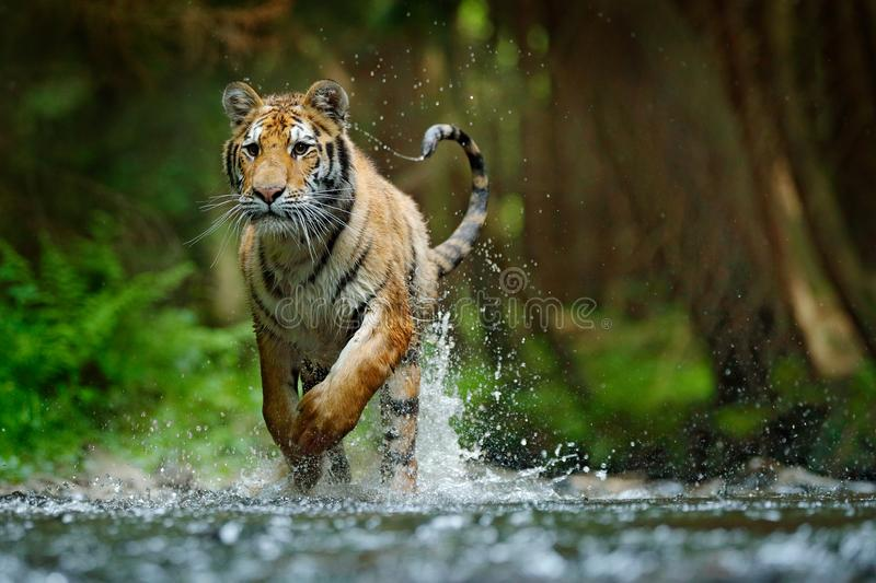 Amur tiger running in water. Danger animal, tajga, Russia. Animal in forest stream. Grey Stone, river droplet. Siberian tiger spla royalty free stock photos