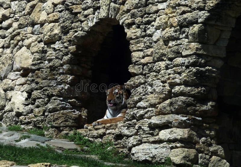 Amur tiger. Safari Park. Gelendshik. Russia. Amur tiger, exhausted by summer heat, hid in a cave. Safari Park. Black Sea resort. Gelendzhik. Russia. 2017 year stock photo