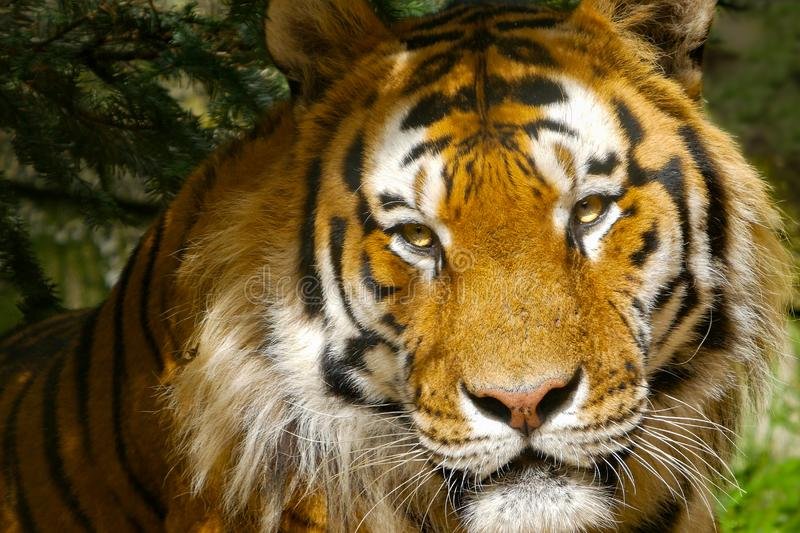 Amur Tiger / Siberian Tiger portrait. Close up of face with bright yellow eyes shining in the sun. royalty free stock image