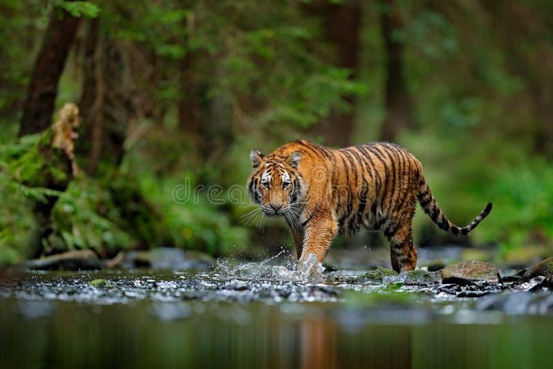 Amur tiger som går i flodvatten Faradjur, tajga, Ryssland Djur i grön skogström Grey Stone flodliten droppe siberia arkivfoton