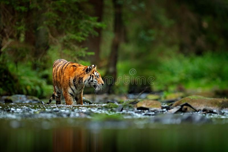 Amur tiger walking in river water. Danger animal, tajga, Russia. Animal in green forest stream. Grey stone, river droplet. Siberia royalty free stock photo