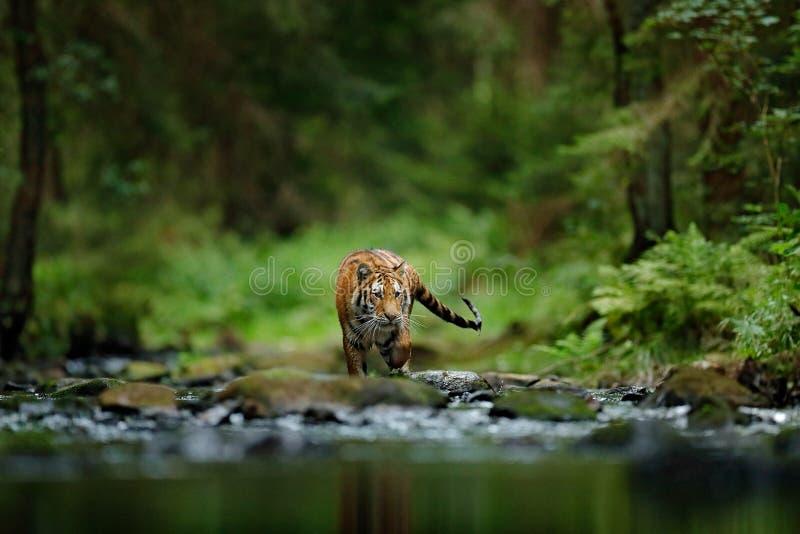 Amur tiger walking in river water. Danger animal, tajga, Russia. Animal in green forest stream. Grey stone, river droplet. Siberia stock image