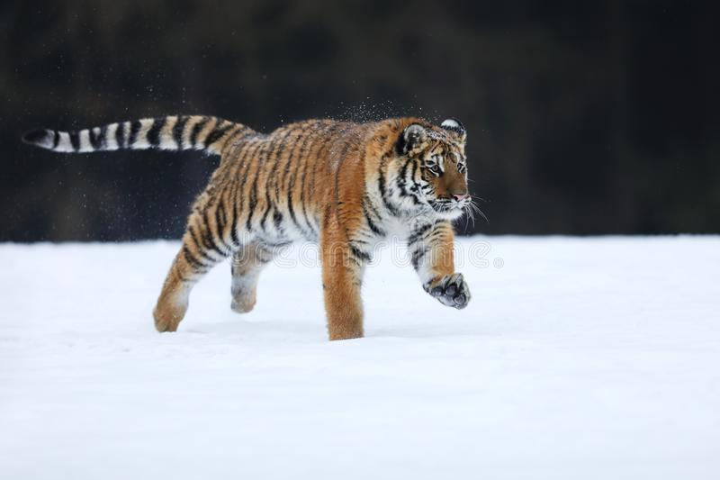 Amur tiger in wild winter nature. Typical winter in taiga, Russia.  Panthera tigris altaica. Amur Tiger run. Beautiful, dynamic and powerful animal. Typical royalty free stock photography