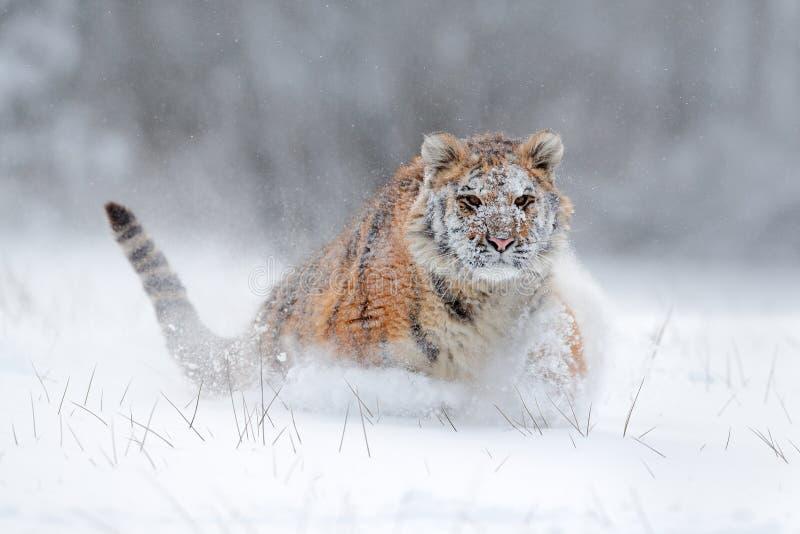 Amur tigerspring i snön Tiger i lös vinternatur Handlingdjurlivplats med faradjuret Kall vinter i tajga, Russi royaltyfria bilder