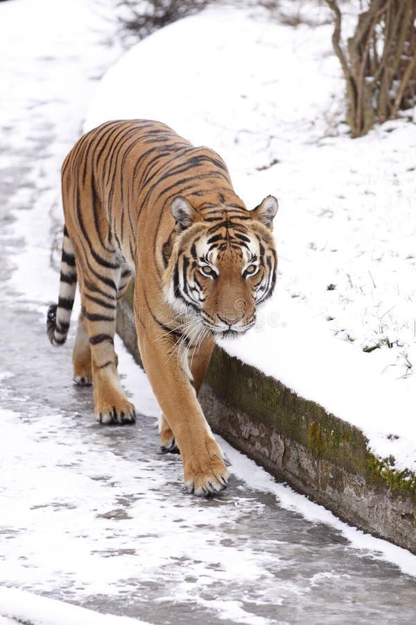 amur tygrys zdjęcie royalty free