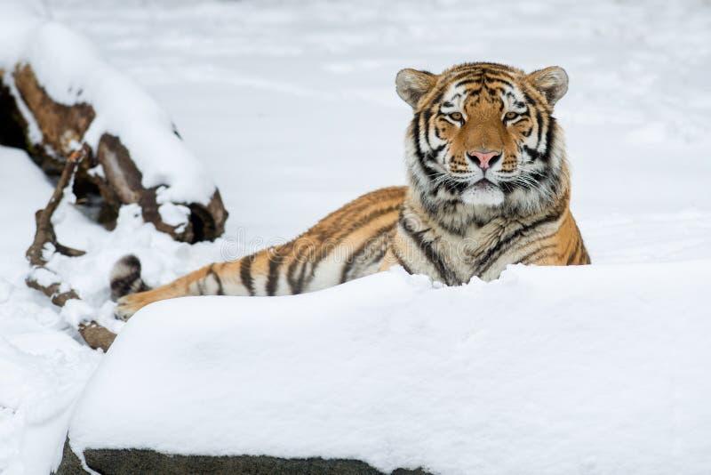 Amur tygrys obrazy royalty free