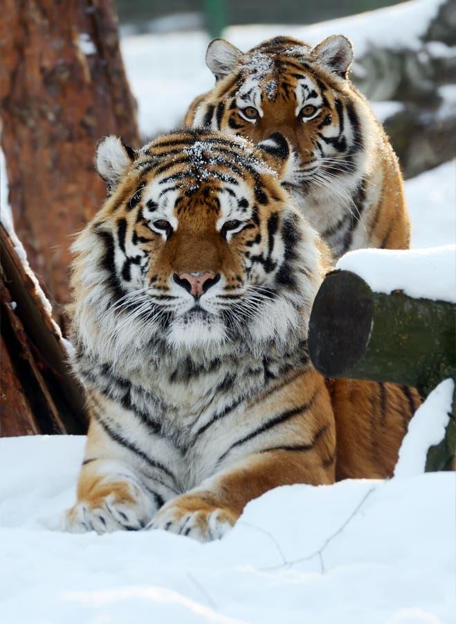 Amur tygrys zdjęcia stock