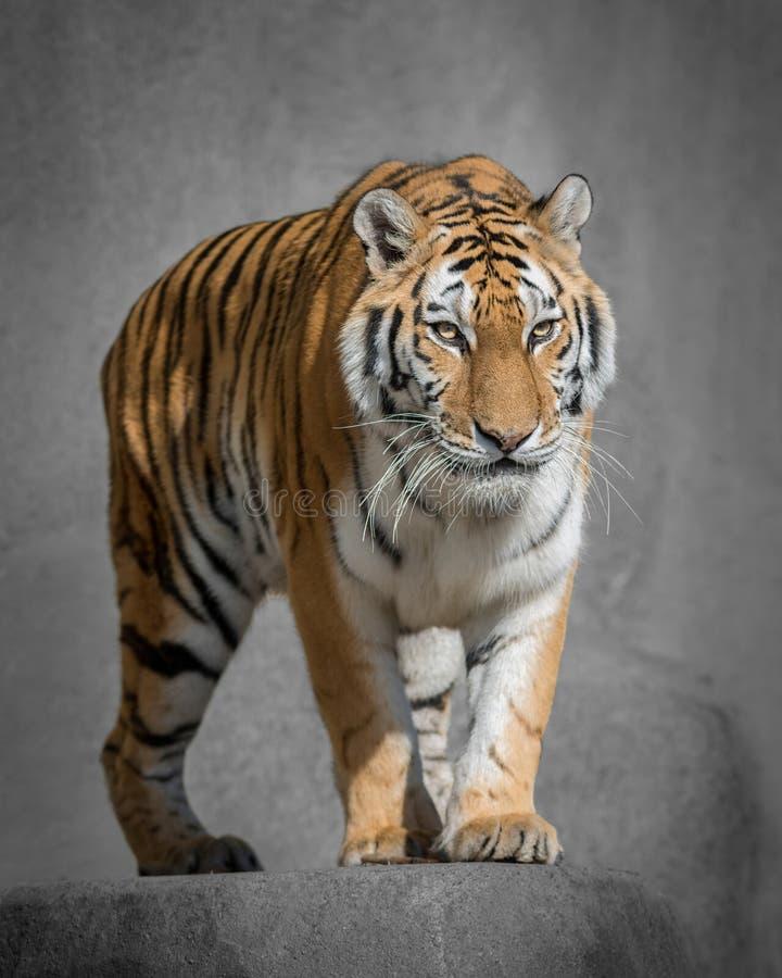 Amur tygrys fotografia royalty free