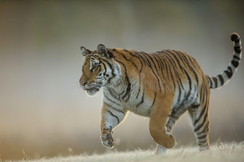 Amur tygrys gdy tropi?cy od zbli?enie widoku Niebezpieczny zwierz?, tajga Rosja Syberyjski tygrys, Panthera Tigris altaica zdjęcia royalty free