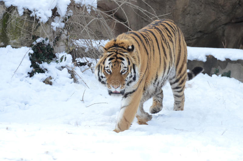Amur tygrys w śniegu 2013 obrazy stock