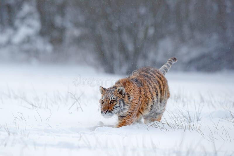 Amur tygrysi bieg w śniegu Akci przyrody scena, niebezpieczeństwa zwierzę Zimna zima, tajga, Rosja Płatek śniegu z pięknym Syberi fotografia stock