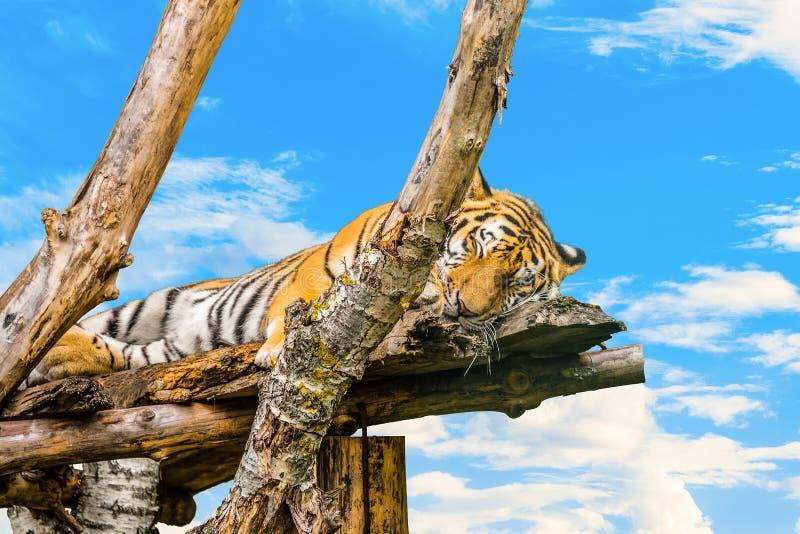 Amur tygrysi dosypianie na drewnianych gałąź na błękitnym chmurnego nieba tle zdjęcia stock