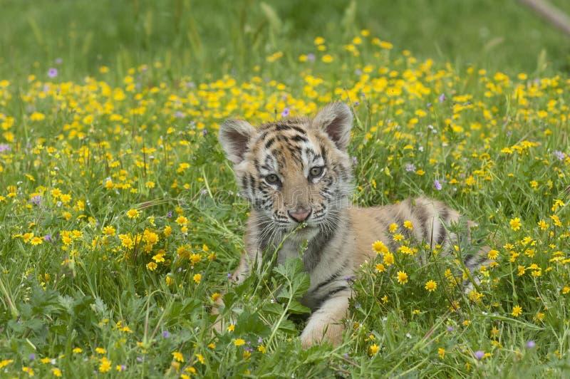 Amur u. x28; Siberian& x29; Tigerkätzchen, das in die gelben und grünen Blumen legt stockfotos