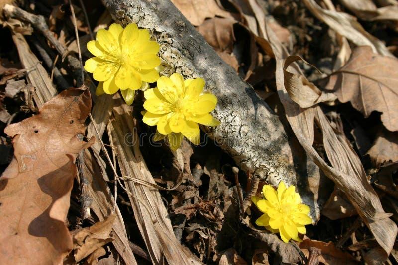Amurensis de florescência de Amur adonis - de Adonis - nos subúrbios de Vladivostok fotografia de stock royalty free