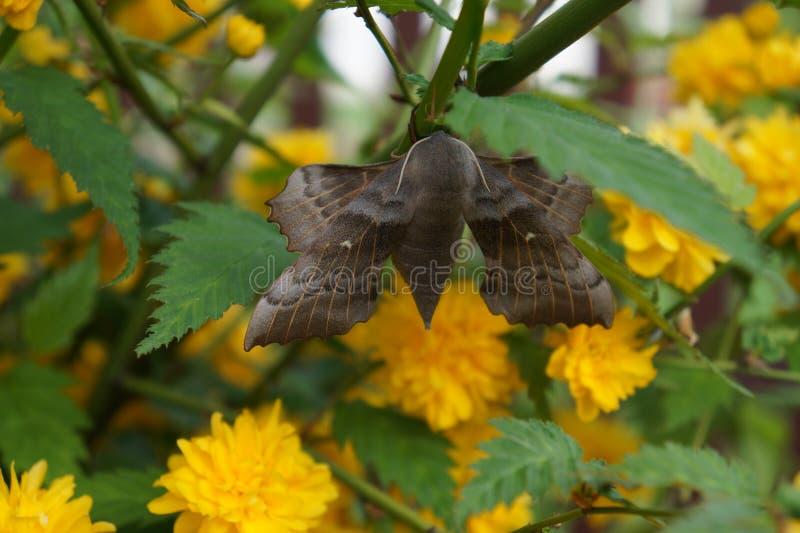 Amurensis di Laothoe fotografie stock