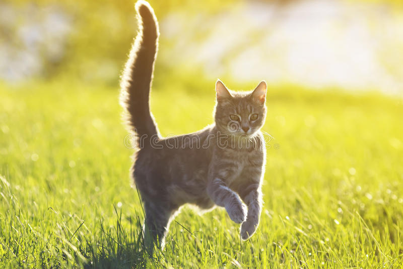 Amusement de chat tigré fonctionnant sur le pré vert dans le jour d'été ensoleillé image stock