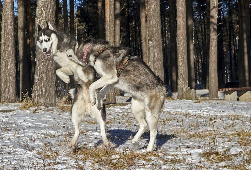 Amusement de chien de traîneau sibérien jouant dedans photographie stock