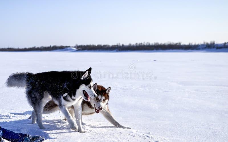 Amusement de chien de traîneau sibérien jouant dedans photos libres de droits