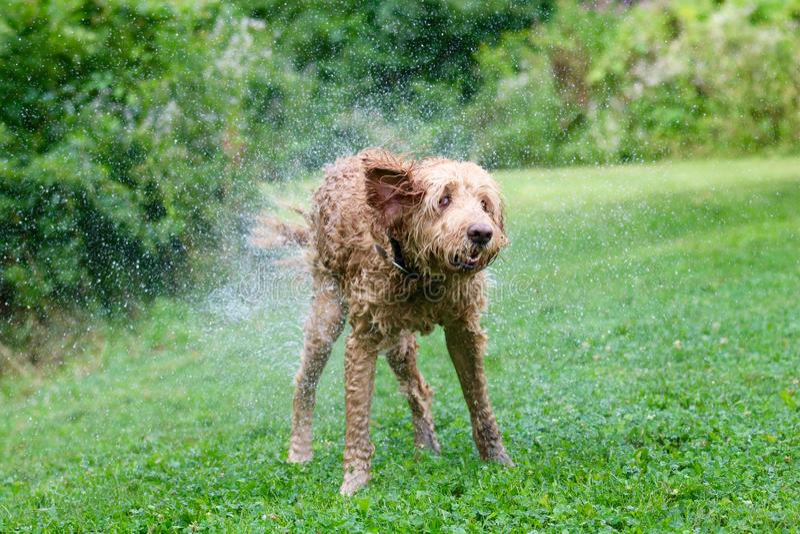 Amusement de l'eau - un chien secouant outre de l'eau images stock