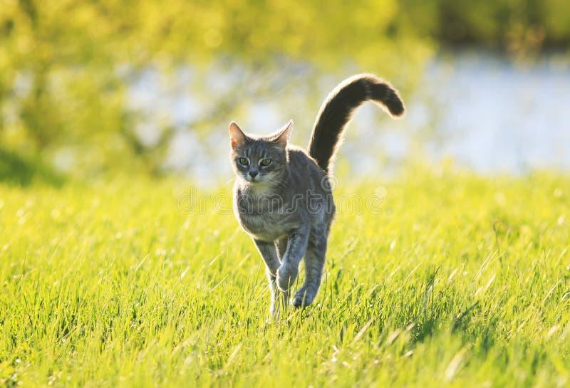 Amusement doux de chat tigré fonctionnant sur le pré vert dans le jour d'été ensoleillé photo libre de droits