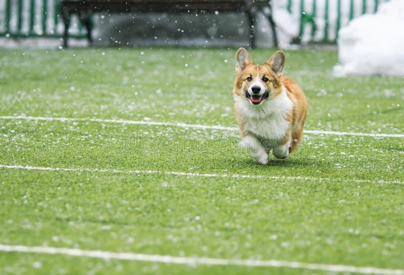 amusement rouge de corgi de race de chien de petit chiot heureux fonctionnant autour du terrain de football vert sur le terrain d photos libres de droits