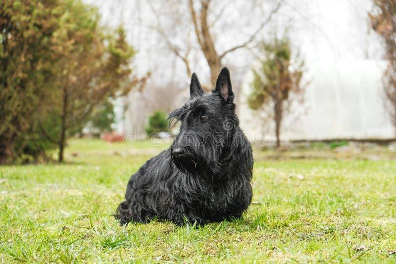 Amusement Terrier écossais noir sautant dans l'herbe photos stock